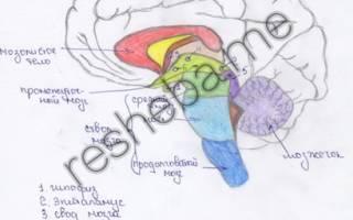 Где расположен головной мозг